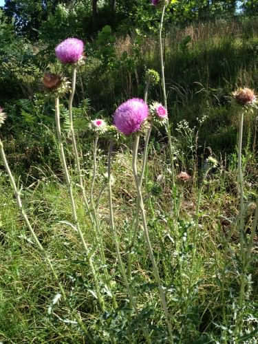 10:20 AM: Thistles growing along the road near the house.