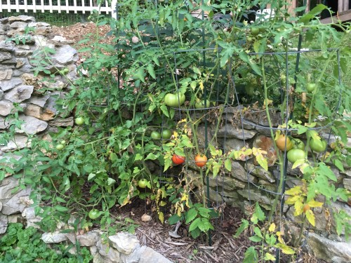 8:04 PM: One of the tomato patches. We've gotten a few already, and they're tasty!