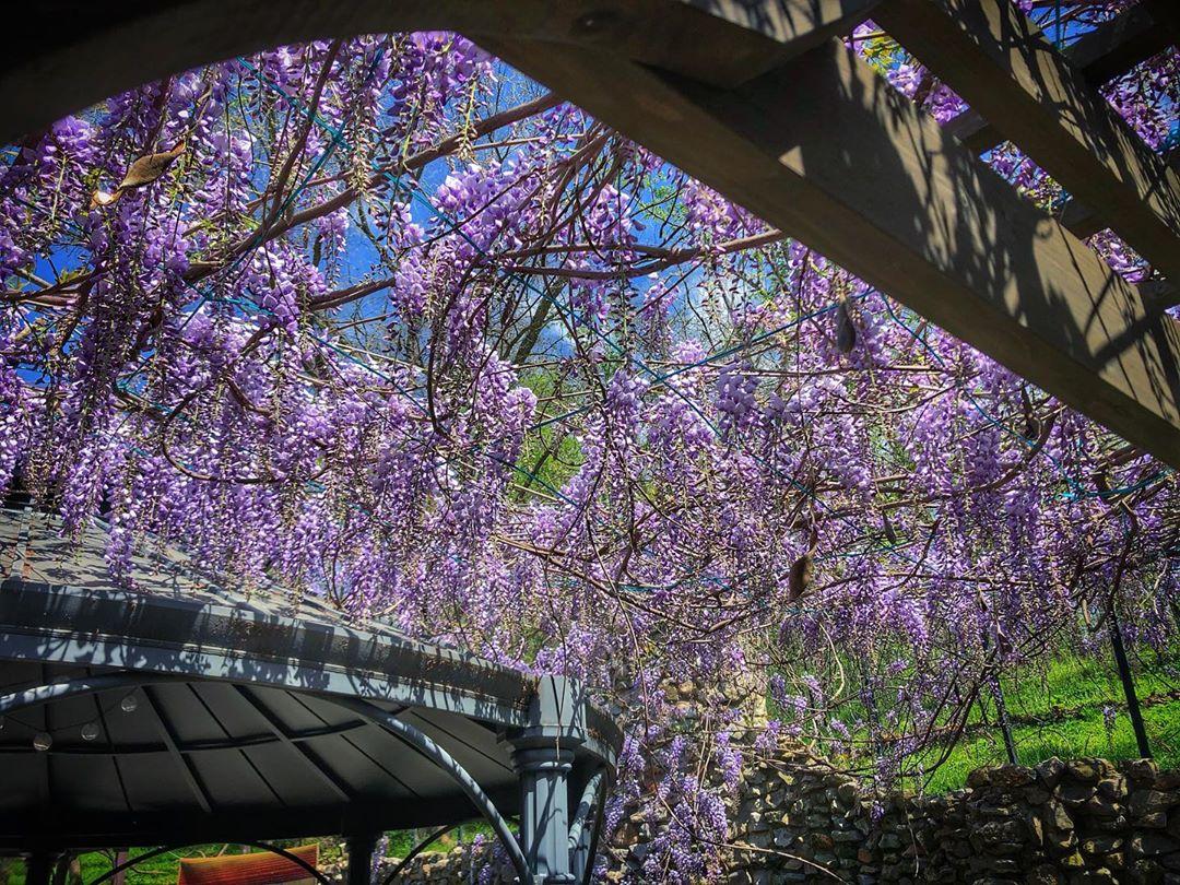 'Tis the wisteria season...